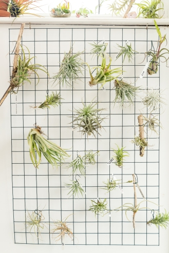 Tremenheere Nursery - Air Plants